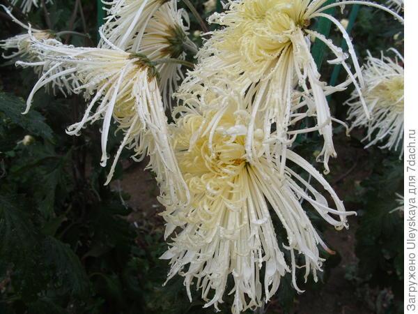 Дендрантема садовая сорт Лебединая песня