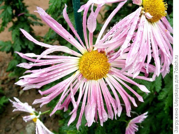 Дендрантема садовая сорт Гармония