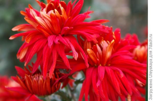 Дендрантема садовая сорт Крымское солнышко