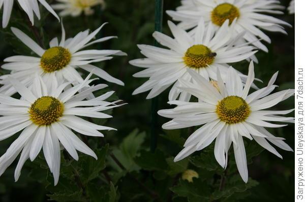 Дендрантема садовая сорт Крымская ромашка