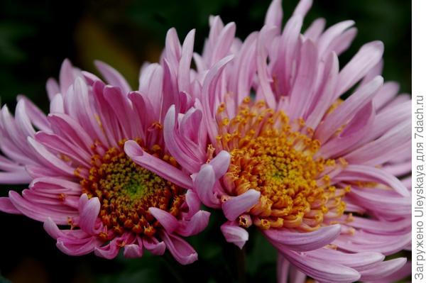 Дендрантема садовая сорт Цветок феи