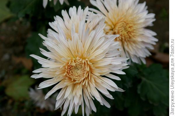 Дендрантема садовая сорт Дива