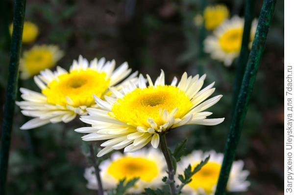 Дендрантема садовая сорт Рандеву
