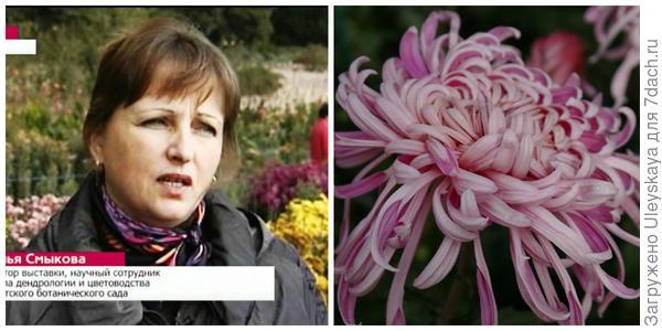 Наталья Смыкова. Фото с сайта youtube.com. Дендрантема садовая сорт Ласточкино гнездо
