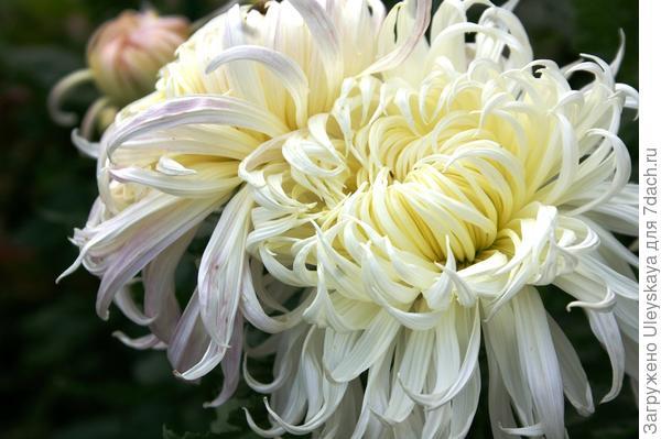 Дендрантема садовая сорт Белый пудель