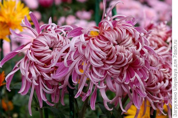 Дендрантема садовая сорт Ласточкино гнездо – никитская дебютантка этого года