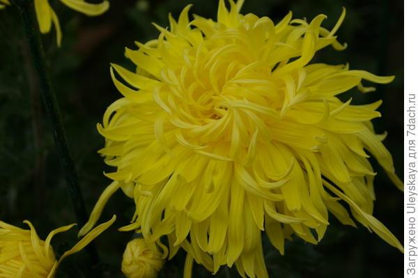 Дендрантема садовая сорт Королевский шедевр