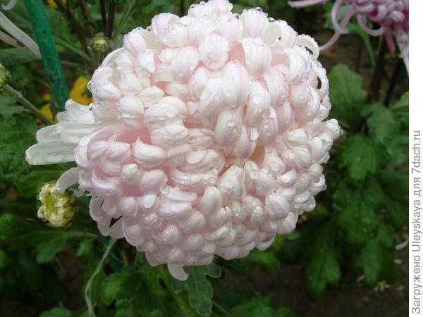 Дендрантема садовая сорт Белый феникс