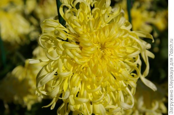 Дендрантема садовая сорт Пусть всегда будет солнце