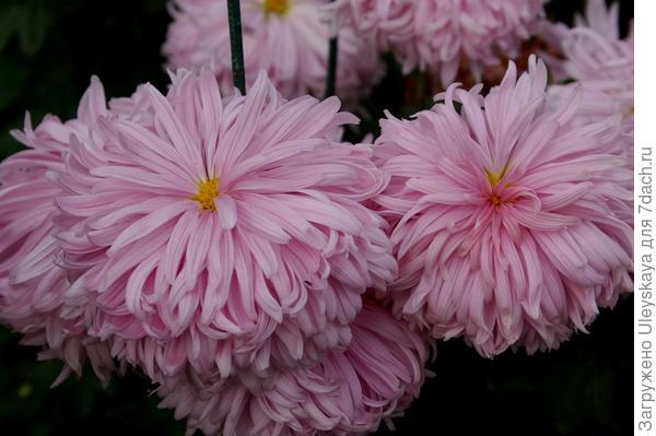 Дендрантема садовая сорт Лепестковый дождь