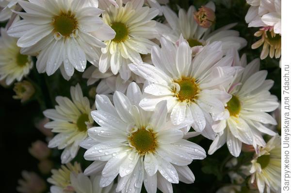Дендрантема садовая сорт Белая ромашка горшечная