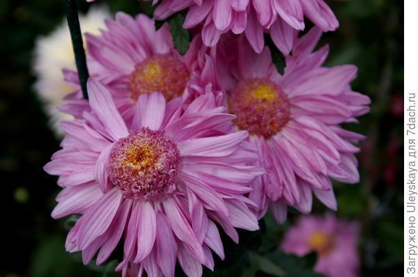 Дендрантема садовая сорт Розовые сумерки