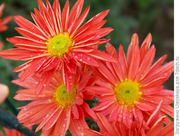 Дендрантема садовая сорт Закат