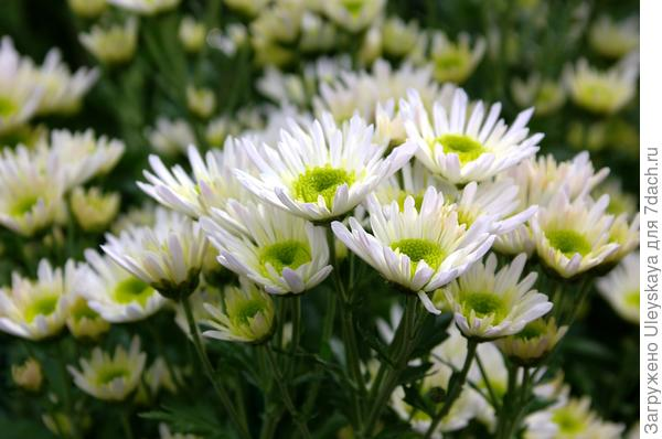 Дендрантема садовая сорт Radost White