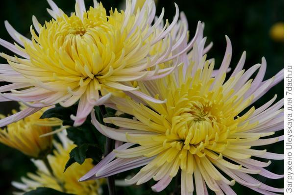 Дендрантема садовая сорт Anastasia Cream, фото автора