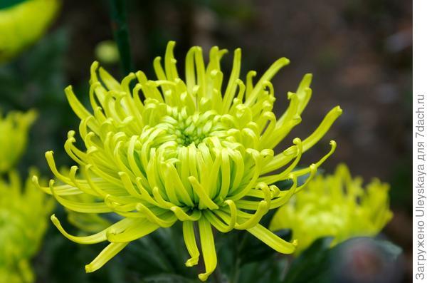 Дендрантема садовая сорт Anastasia Dark Green