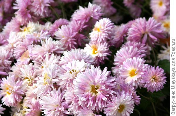 Дендрантема садовая сорт Октябрина