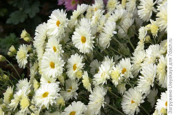 Дендрантема садовая сорт Лебёдушка