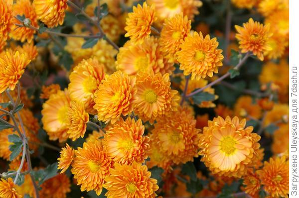 Дендрантема садовая сорт Терракота