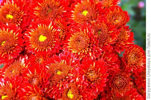 Дендрантема садовая сорт Красный октябрь