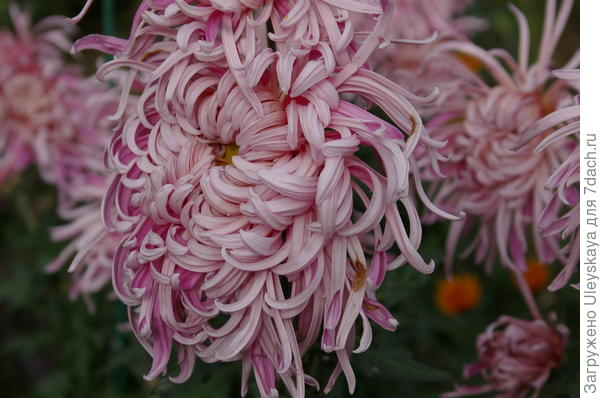 Дендрантема садовая сорт Ласточкино гнездо, фото автора