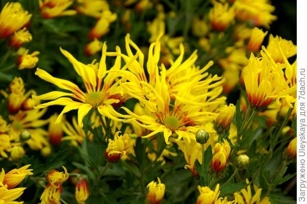 Дендрантема садовая сорт Лучистая