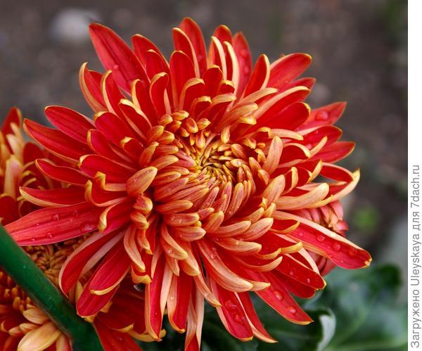 Дендрантема садовая сорт Пламя