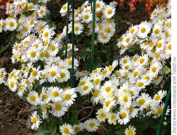 Дендрантема садовая сорт Белая река