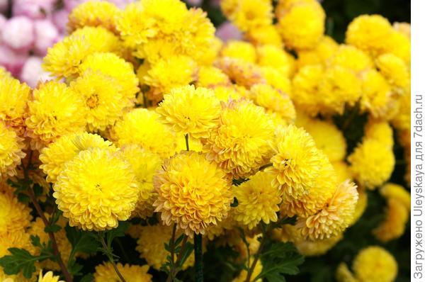 Дендрантема садовая сорт Букетный желтый