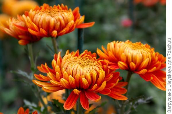 Дендрантема садовая сорт Perfection Orange