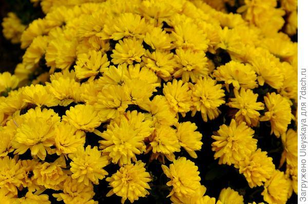 Дендрантема садовая сорт Terrano gold