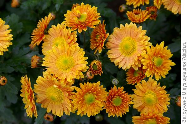 Дендрантема садовая сорт Улыбка осени