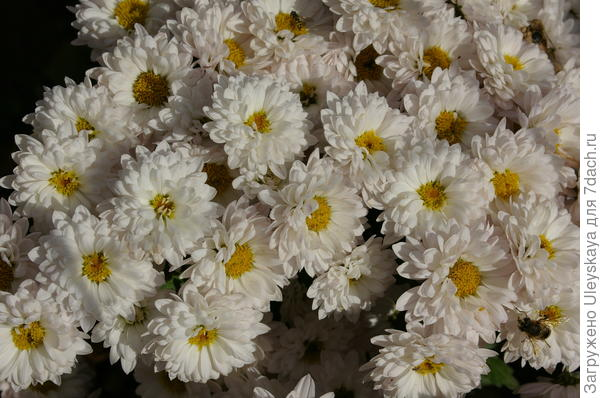 Хризантема садовая сорт Жанна