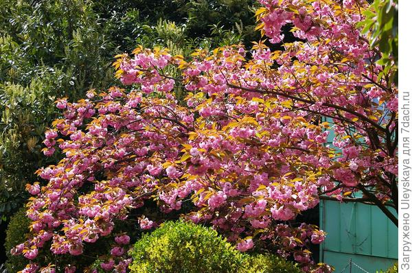 Цветение сакуры в Никитском ботаническом саду, Ялта, Крым