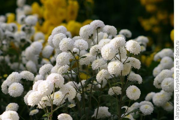 Хризантема Снежный шар