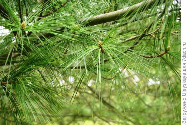 Ажурная крона сосны Гриффита, фото автора