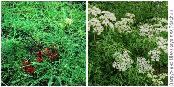 Бузина красная Tenuifolia. Фото с сайта pinterest.com. Бузина черная Laciniata. Фото с сайта ilbosco.ru