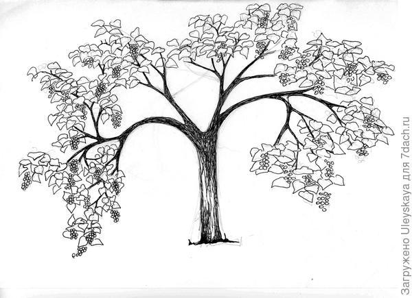 Павловния войлочная, рисунок автора