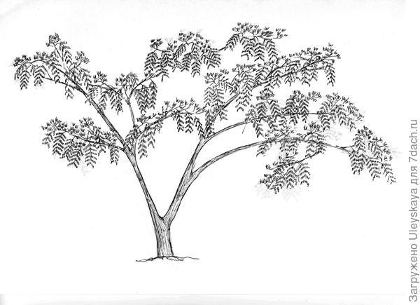 Акация ленкоранская, рисунок автора
