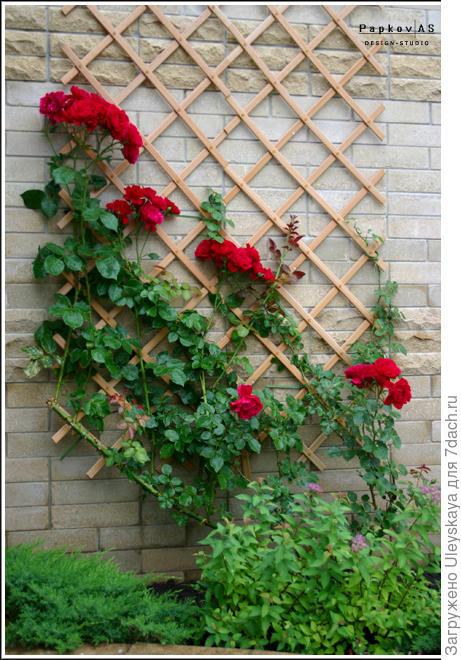 Роза на решетке у стены