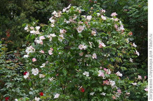 Полуажурная роза