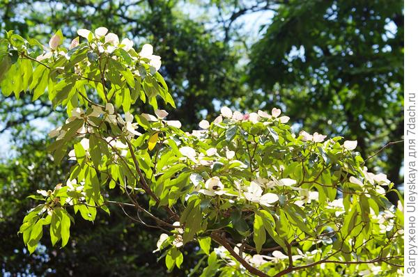 Полуажурный кизил головчатый в цветении