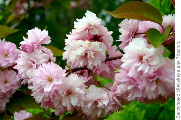Цветки сакур похожи на цветки черешен, которые прекрасно зимуют в средней полосе России фото автора