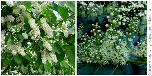 Черемуха обыкновенная в цветении. Фото с сайта traffic-moscow.ru. Лавровишня лекарственная в цветении, фото автора