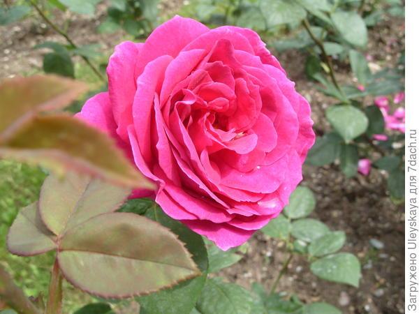 Роза сорт Big Purple в Никитском ботаническом саду