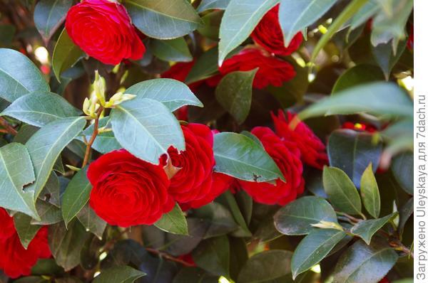 Цветет камелия японская, фото автора