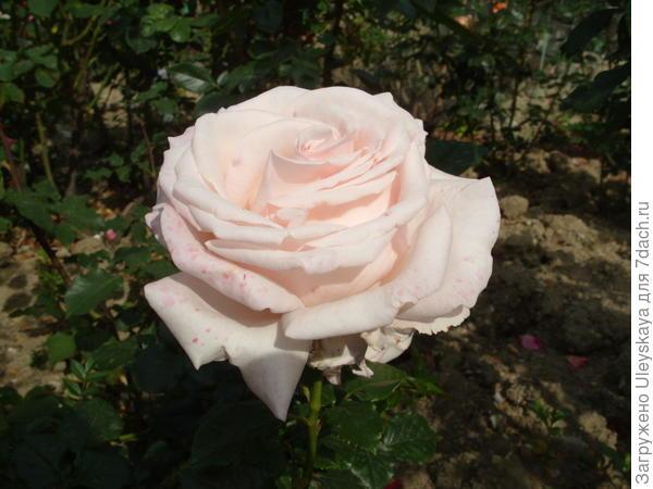Роза сорт Первоклассница