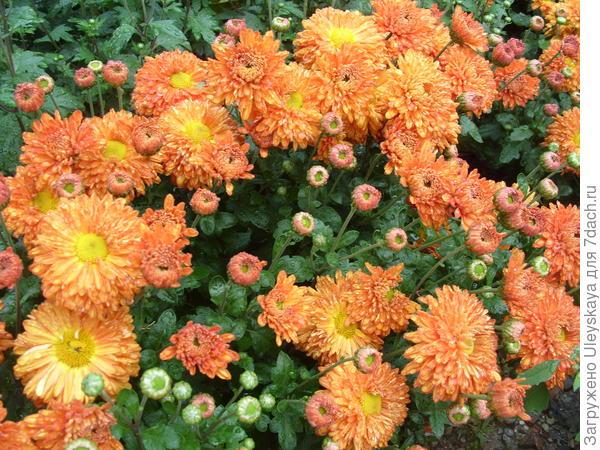 Хризантема садовая сорт Скифское золото