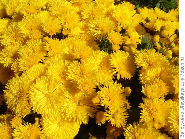Хризантема садовая сорт Златовласка