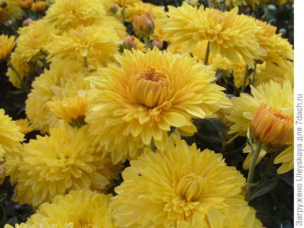 Хризантема садовая сорт Опал